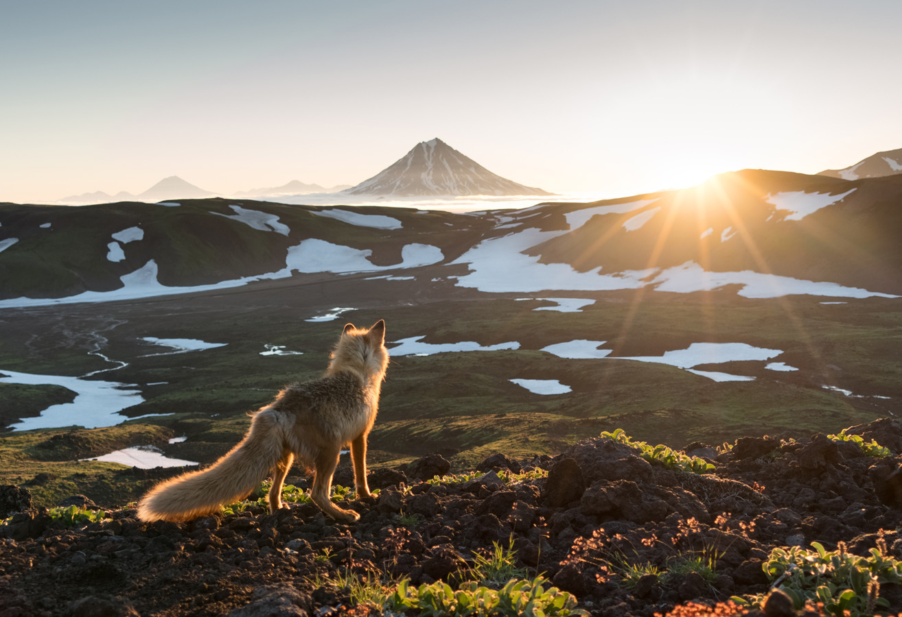 Wise Fox meets the dawn, © Alexander Zus, Russia, Wildlife Nomination, 2 place, 35AWARDS Photo Contest