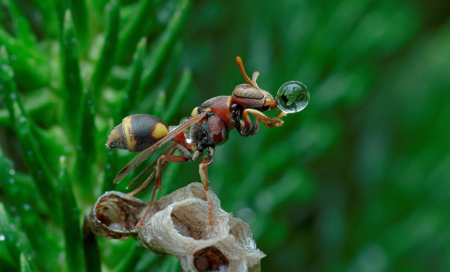 Wasp Blowing Water Bubble, © Lim Choo How, Malaysia, 1 place in nomination Macro, 35AWARDS Photo Contest