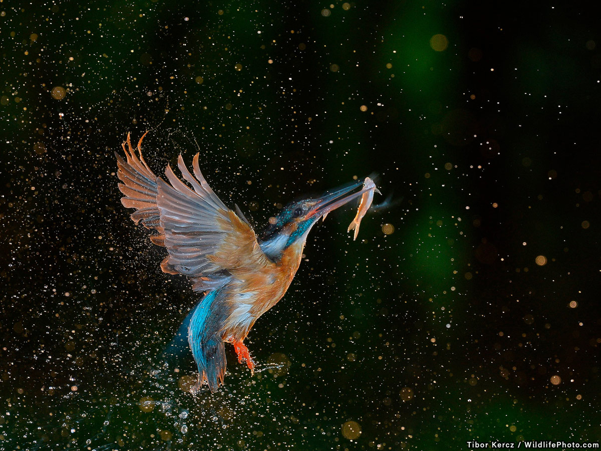 Enchanting Moment, © Tibor Kércz, Winner, Animal Behaviour Photo Contest