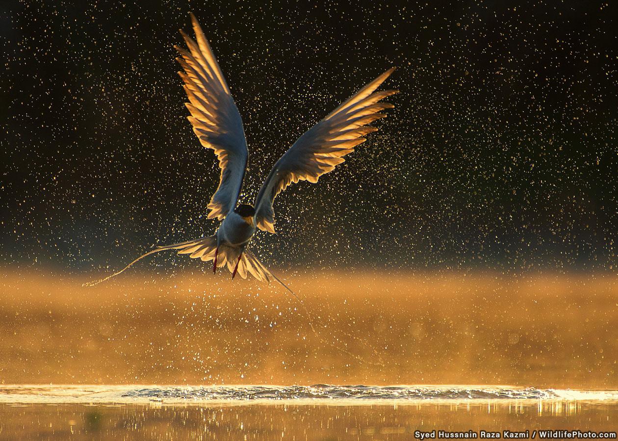 Tern, © Syed Hussnain Raza Kazmi, Highly Commended, Animal Behaviour Photo Contest