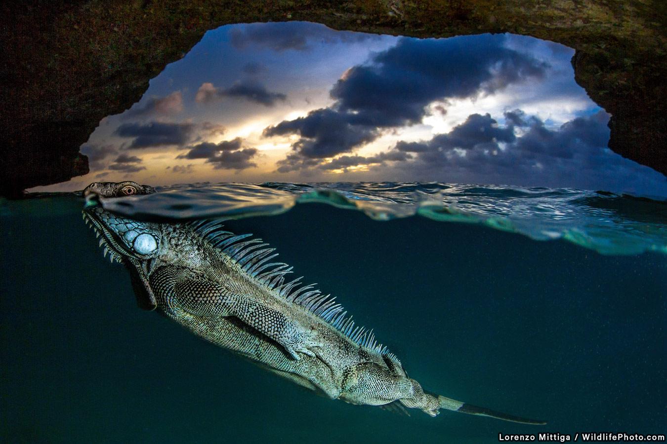 The Green Iguana, © Lorenzo Mittiga, Runner-Up, Animal Behaviour Photo Contest