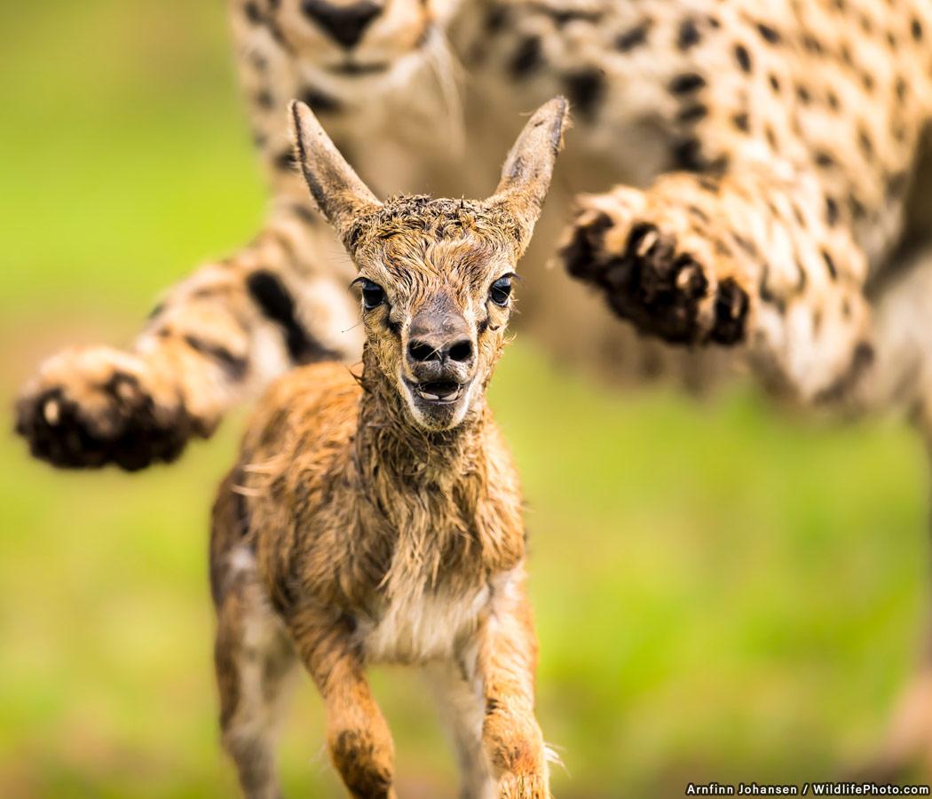 Hunted, © Arnfinn Johansen, Highly Commended, Animal Behaviour Photo Contest