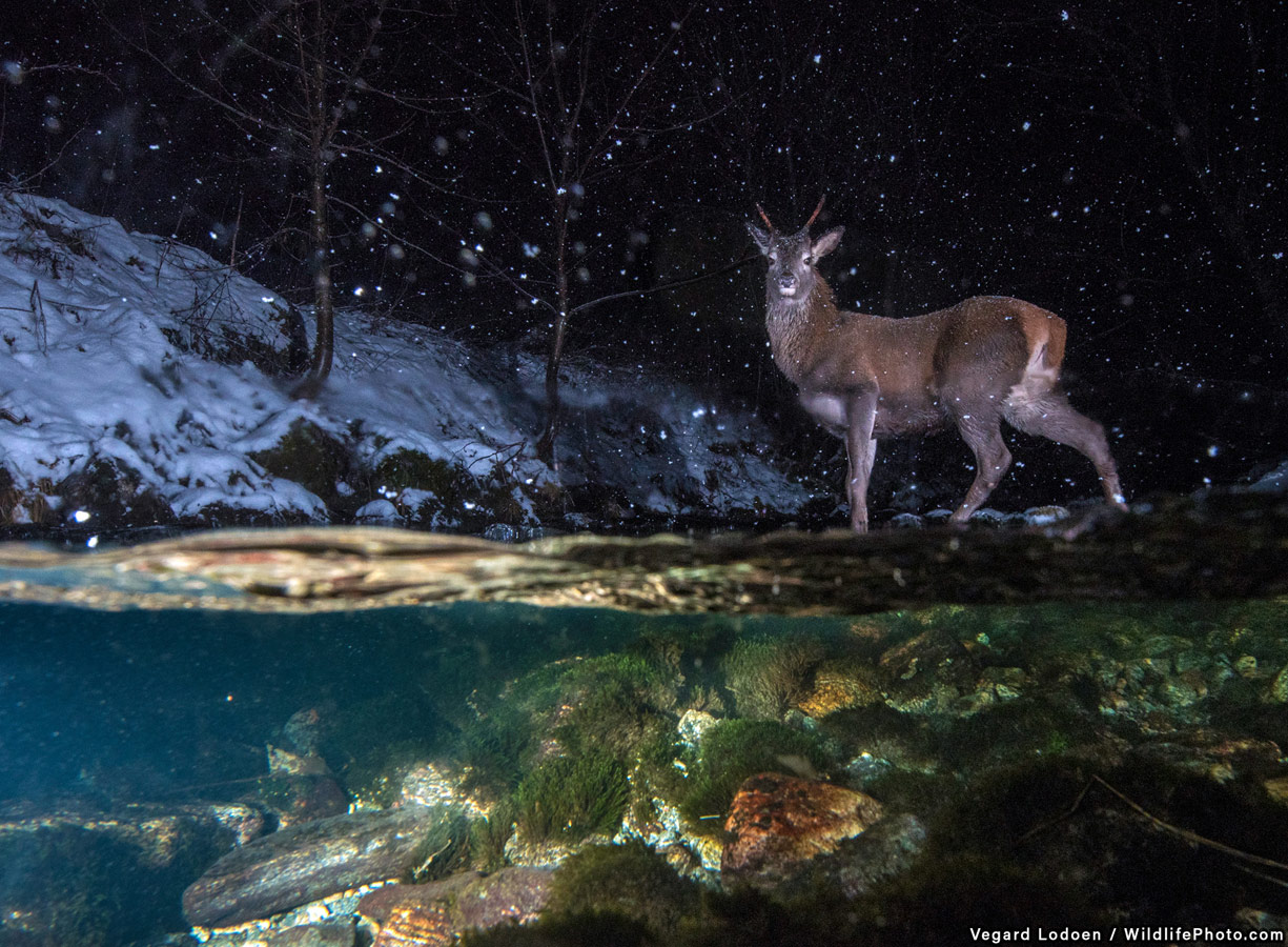 Red Deer Crossing a River, © Vegard Lødøen, Highly Commended, Animal Behaviour Photo Contest