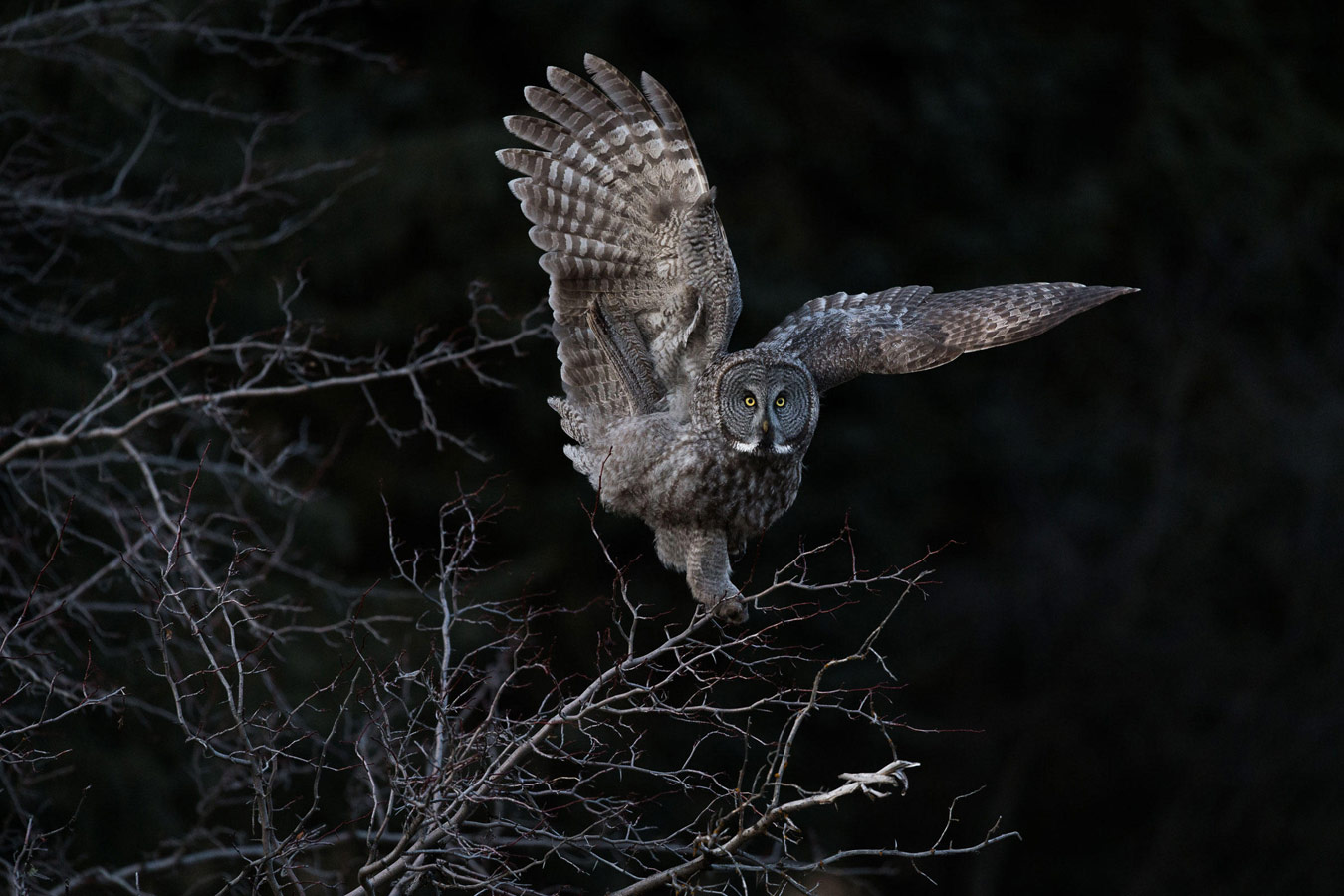 Great Gray Owl, © Steve Mattheis, Grand Prize Winner, Audubon Photography Awards