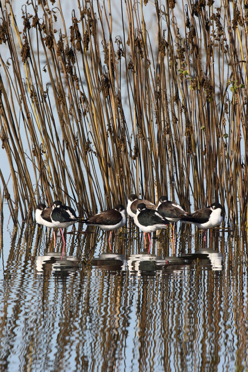 Black-necked Stilts, © Gary R. Zahm, Professional Winner, Audubon Photography Awards