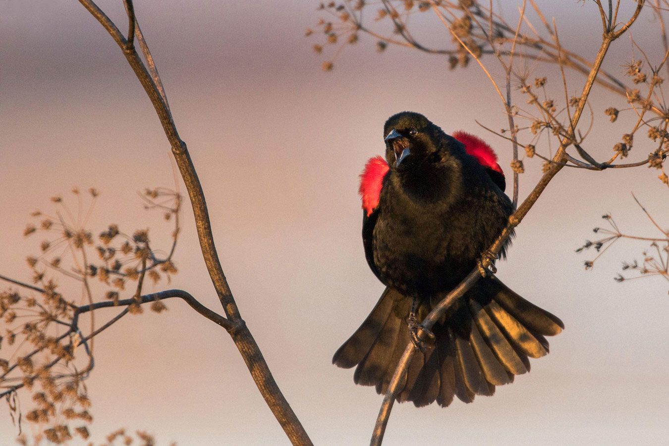 Red-winged Blackbird, © Donald Quintana, Professional Honorable Mention, Audubon Photography Awards