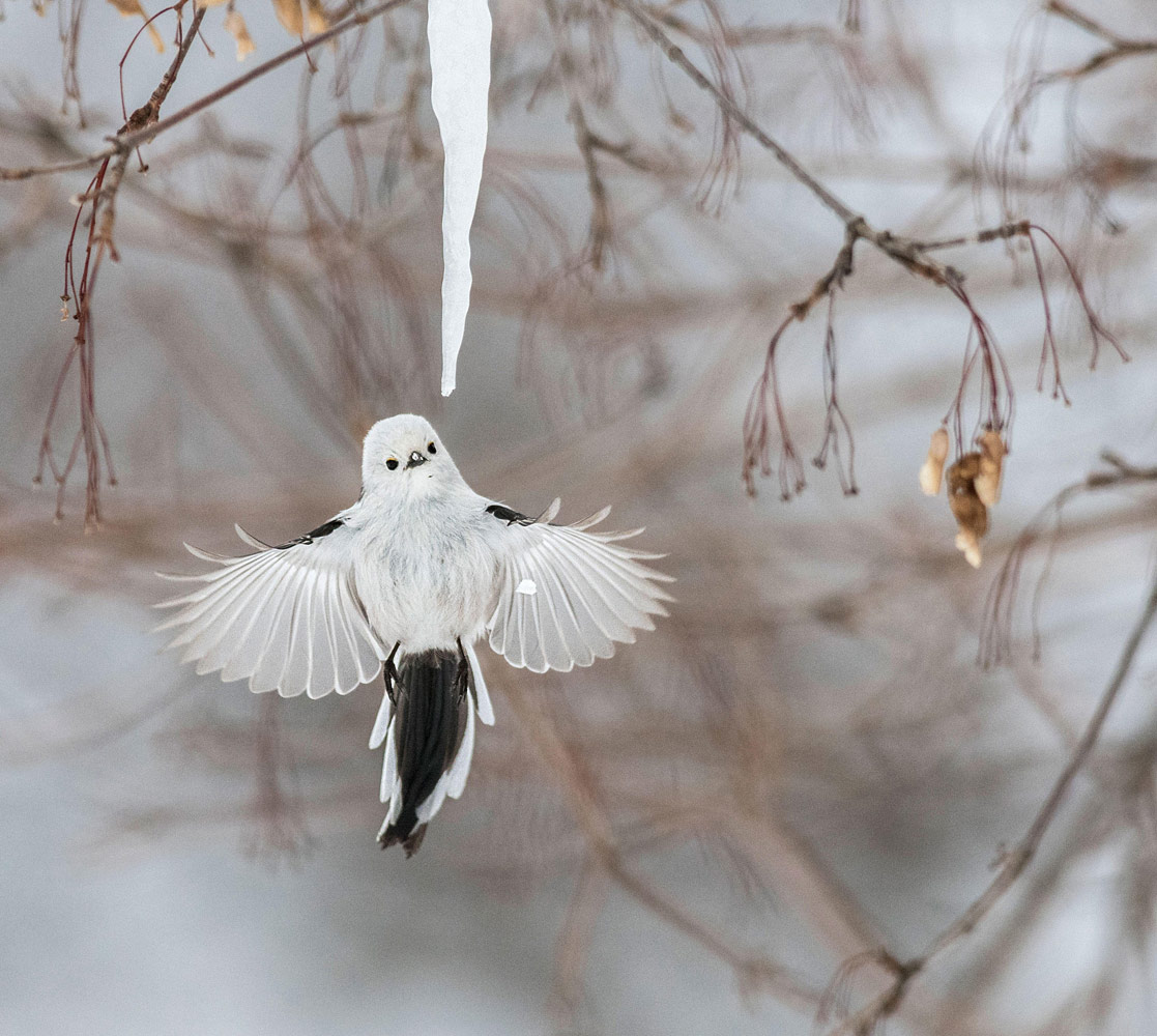Long-tailed Tit, © Diana Rebman, Amateur Winner, Audubon Photography Awards