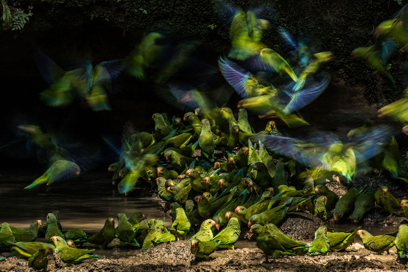 Cobalt-winged Parakeets, © Liron Gertsman, Youth Winner, Audubon Photography Awards
