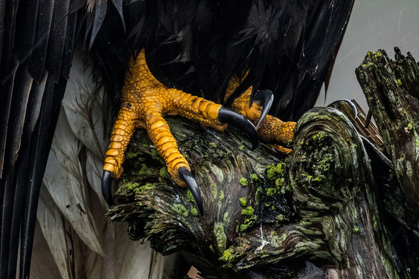 Bald Eagle, © Liron Gertsman, Youth Honorable Mention, Audubon Photography Awards