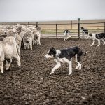 New Zealand Sheep Farm Dogs, © Tadd Myers, Grapevine, United States, Commissioned Work, Best Friends — Animal Photography Contest