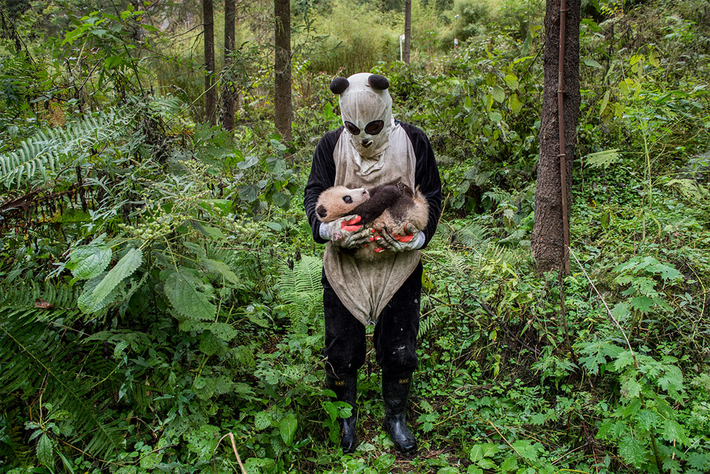 Pandas Gone Wild, © Ami Vitale, Missoula, Montana, Winner in category Human/Nature, BigPicture Natural World Photography Competition