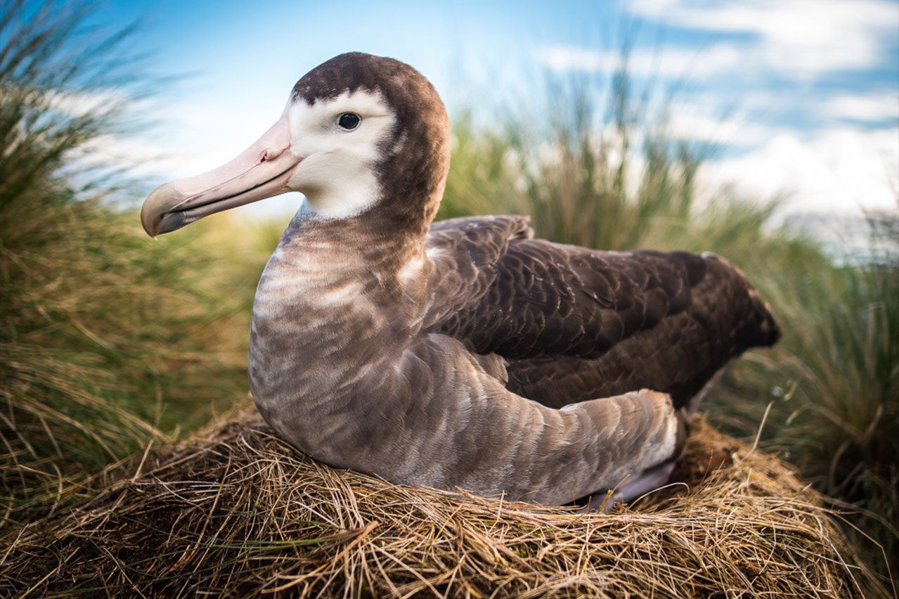 World's Rarest Seabird: Amsterdam Albatross, Amsterdam Island, French Southern and Antarctic Lands, © Isabelle Jouvie, Grenoble, France, 2018 Photo Series: Time Capsule Category Winner, BigPicture Natural World Photography Competition