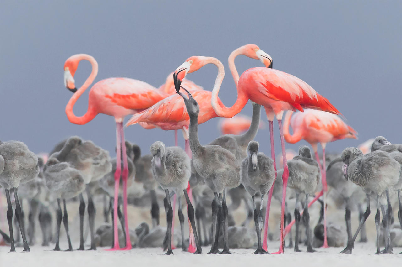 Feeding Flamingos, © Alejandro Prieto Rojas, Bird Photographer of the Year 2017, Bird Photographer of the Year - BPOTY