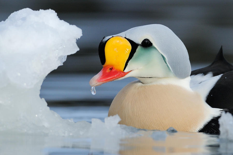 Male King Eider, © Staffan Widstrand, Bird Photographer of the Year - BPOTY