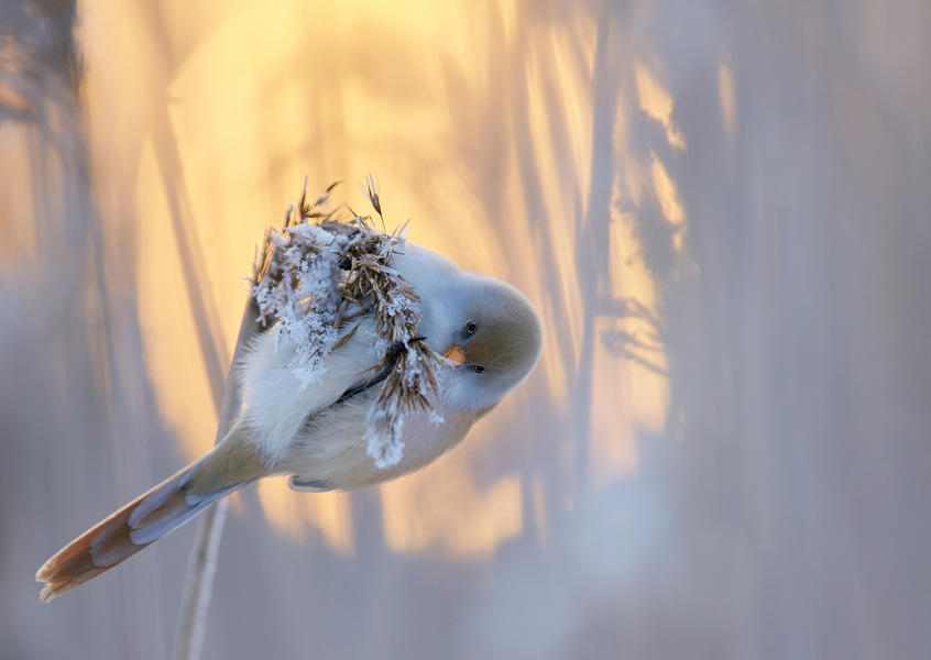 Bearded Tit, © Markus Varesvuo, Bird Photographer of the Year - BPOTY