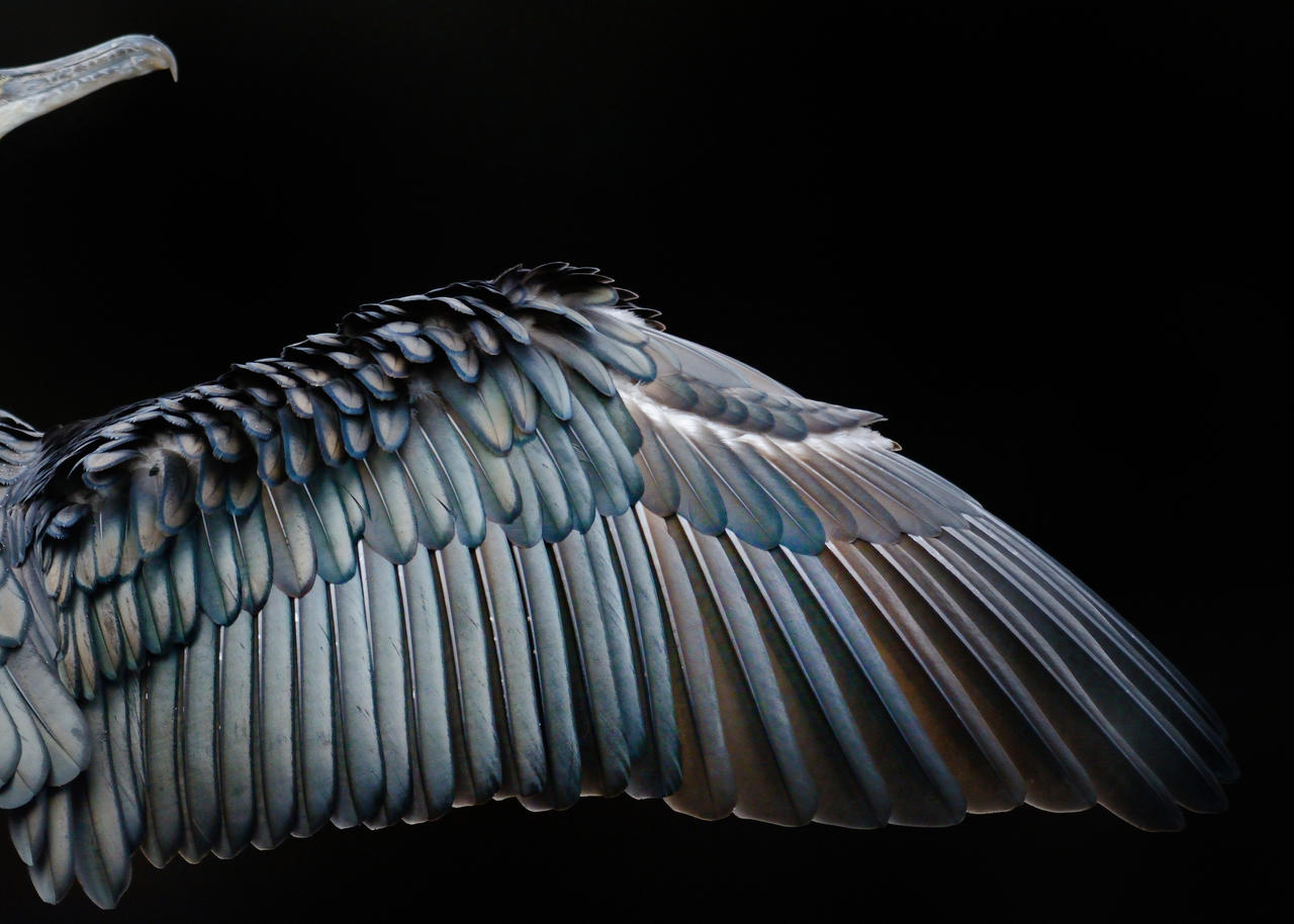 Cormorant wing, © Tom Hines, Gold, Bird Photographer of the Year - BPOTY