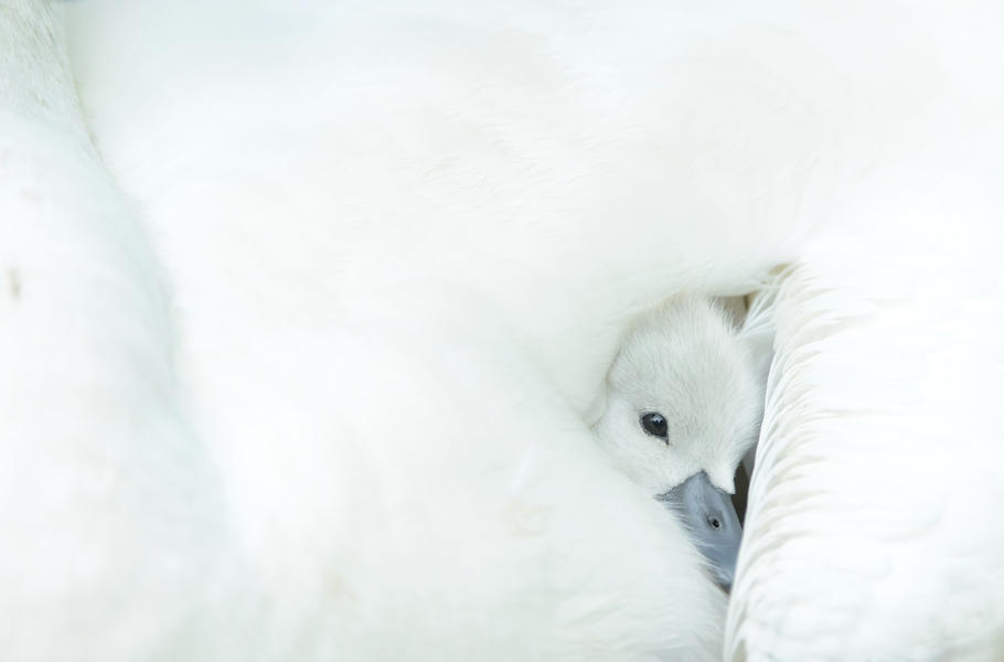 Snuggling Cygnet, © Ben Andrew, Bird Photographer of the Year - BPOTY