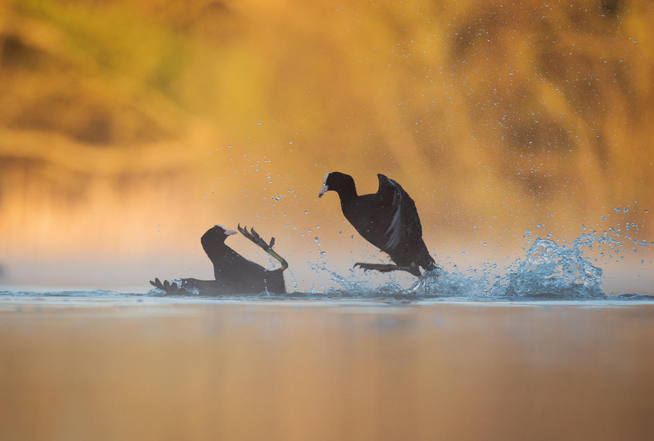 Fighting Coots, © Andy Parkinson, Gold, Bird Photographer of the Year - BPOTY
