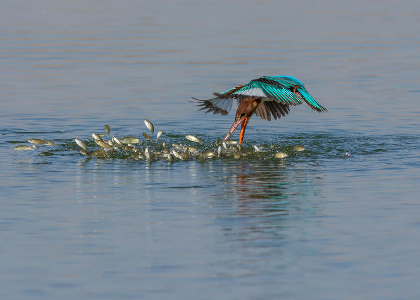 Diving Kingfisher, © Malek Alhazzaa, Silver, Bird Photographer of the Year - BPOTY