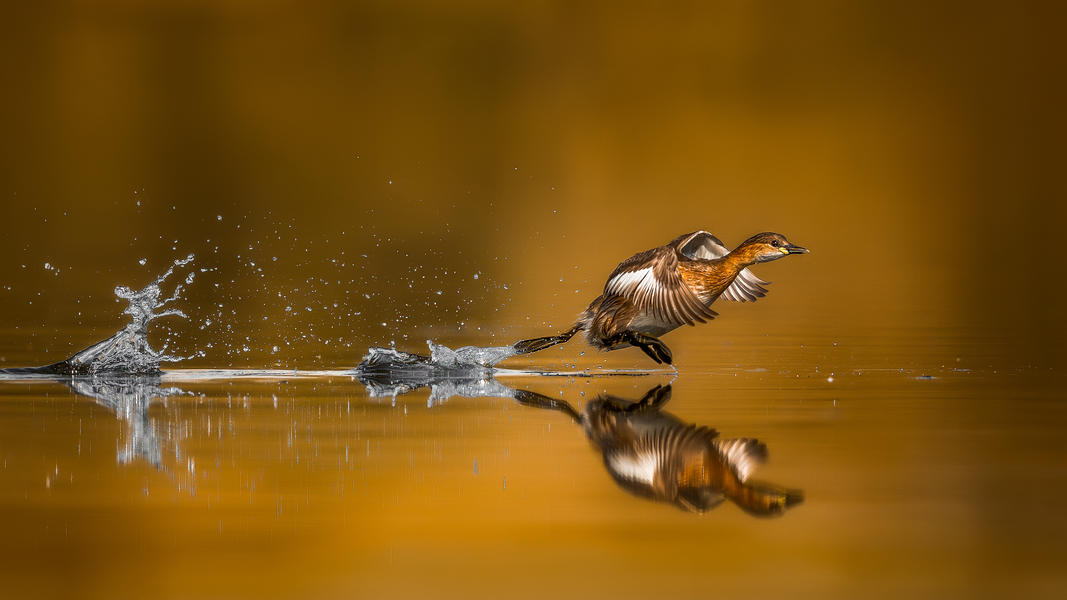 Little Grebe taking off, © Faisal Alnomas, Bird Photographer of the Year - BPOTY