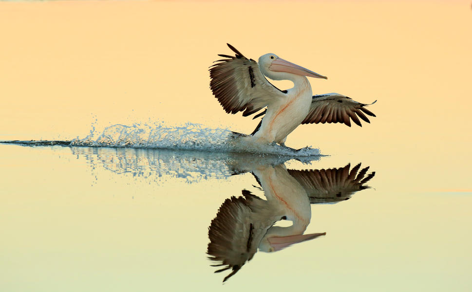 Australian Pelican landing on water, © Bret Charman, Gold, Bird Photographer of the Year - BPOTY