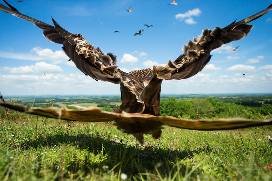Red Kite close-up, © Jamie Hall, Silver, Bird Photographer of the Year - BPOTY