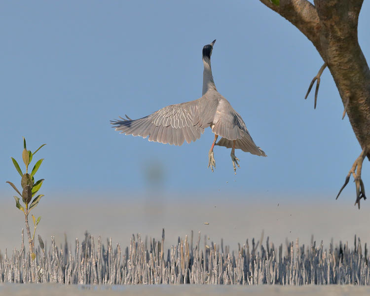 Leaping Heron, © Georgina Steytler, Bird Photographer of the Year - BPOTY