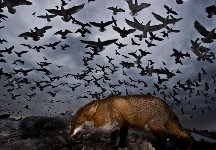 Seagulls and fox, © Gabor Kapus, Bird Photographer of the Year - BPOTY