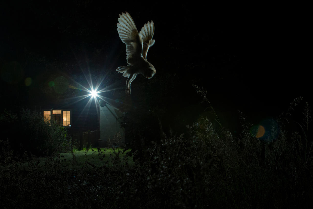 Hovering Barn Owl, © Jamie Hall, Gold, Bird Photographer of the Year - BPOTY