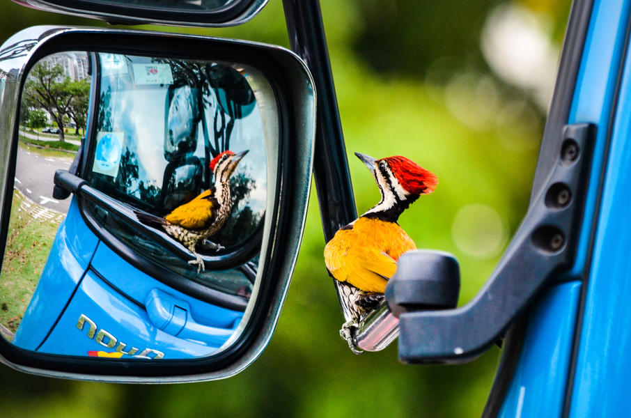 Woodpecker in car mirror, © Kelvin Dao, Bird Photographer of the Year - BPOTY