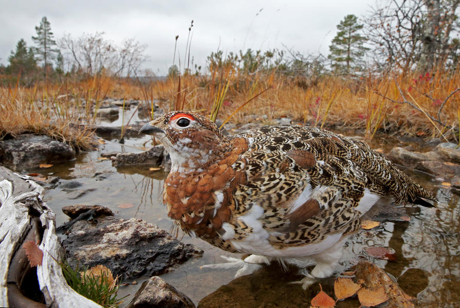 Willow Grouse, © Markus Varesvuo, Bird Photographer of the Year - BPOTY