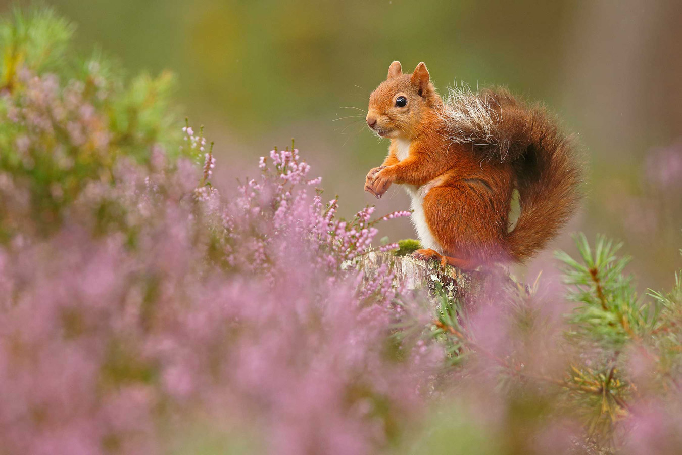 Summer red squirrel in purple heather. Rothiemurchus Forest, Cairngorms Nationa Park, © Neil McIntyre, British Wildlife Photography Awards