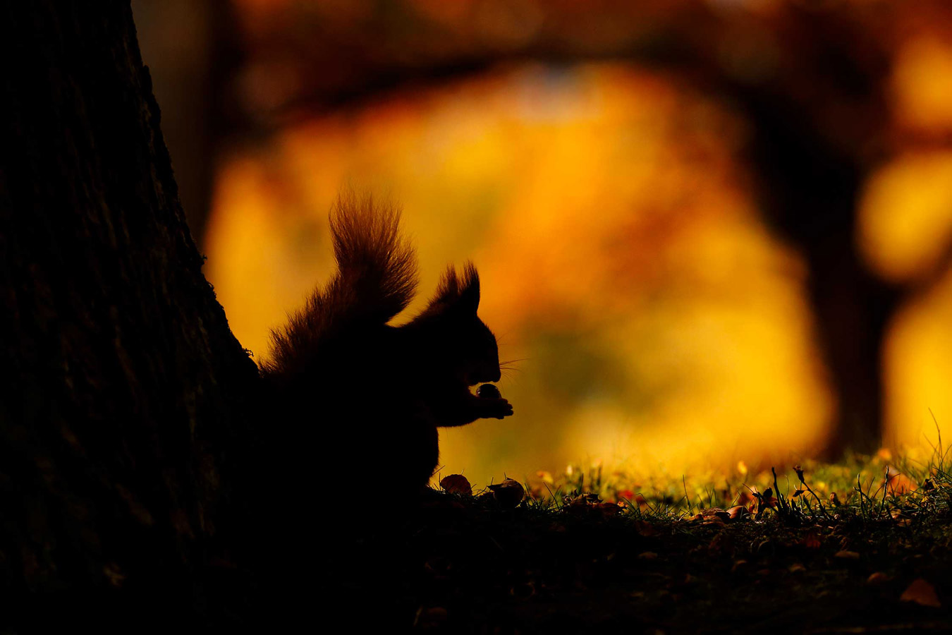 Autumn Red squirrel silhouette. Kinrara, Cairngorms National Park, Scotland, © Neil McIntyre, British Wildlife Photography Awards