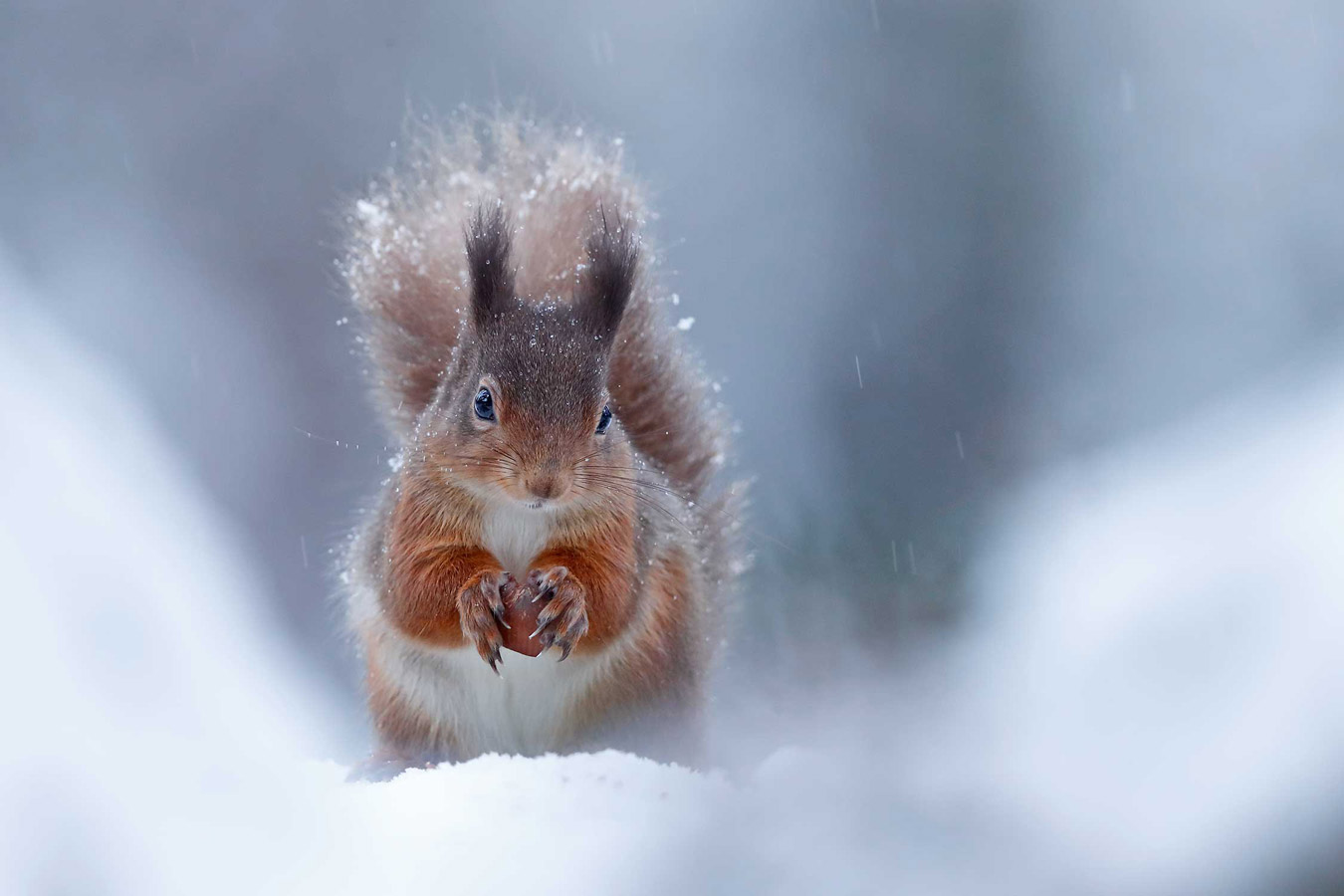 Winter Red Squirrel. Rothiemurchus Forest, Cairngorms National Park, Scotland, © Neil McIntyre, British Wildlife Photography Awards