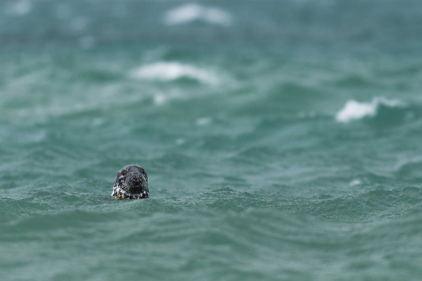A wild grey seal in stormy waters. Cornwall, United Kingdom, © Ben Watkins, British Wildlife Photography Awards