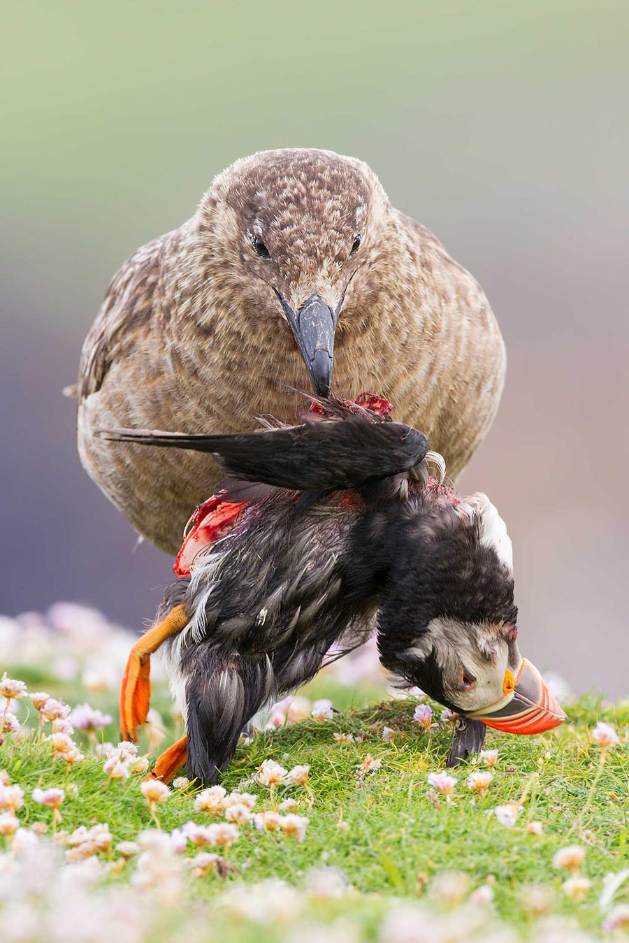 Life and death at the edge of the world. Shetland, Scotland, © Sunil Gopalan, British Wildlife Photography Awards