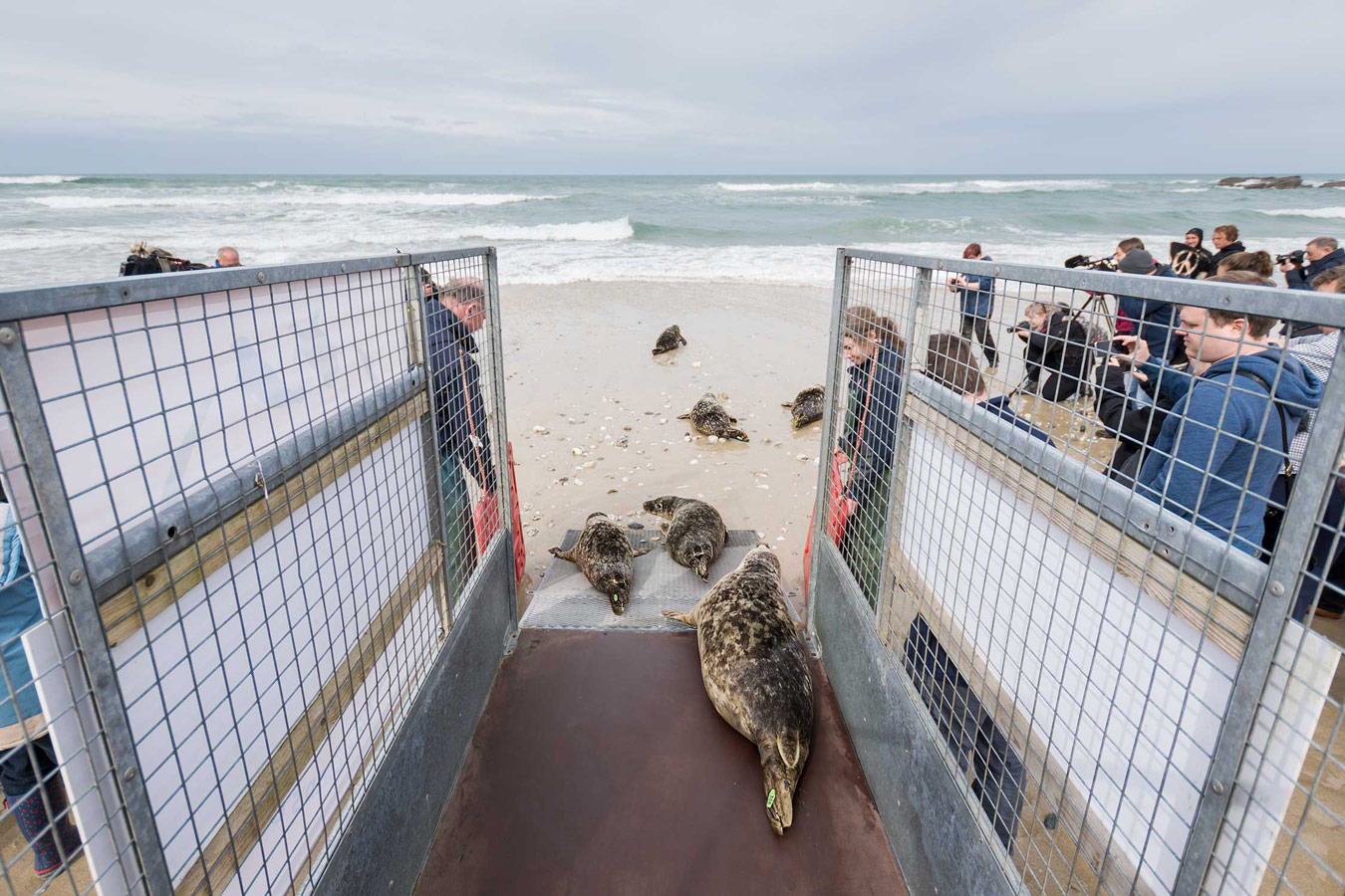 Rehabilitated grey seals being released back into the wild. Cornwall, United Kingdom, © Ben Watkins, British Wildlife Photography Awards