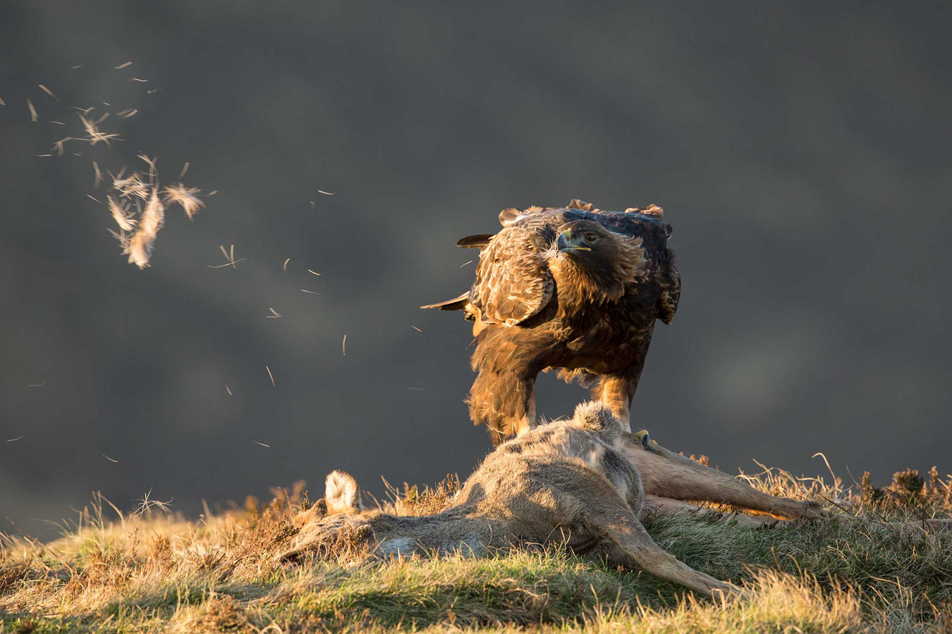 Golden eagle feeding on roe deer carcass. Isle of Skye, © Mark Hamblin, British Wildlife Photography Awards