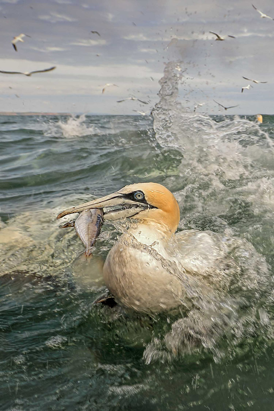 Gannet with fish. Bempton Cliffs, Northumberland, England, © Andy Rouse, British Wildlife Photography Awards