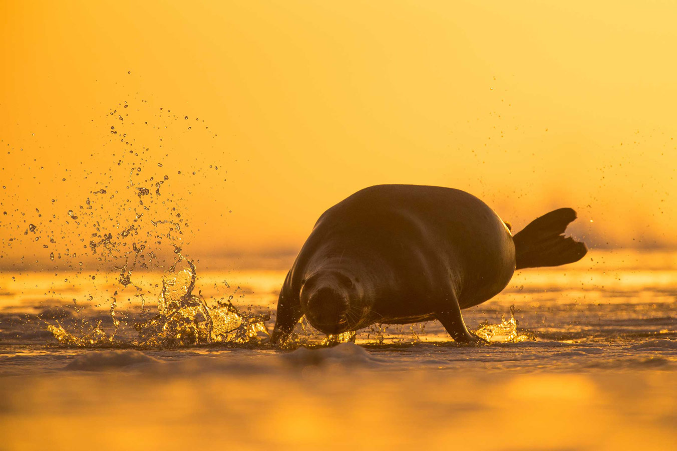 On A Mission. Norfolk Coast, © Luke Wilkinson, British Wildlife Photography Awards