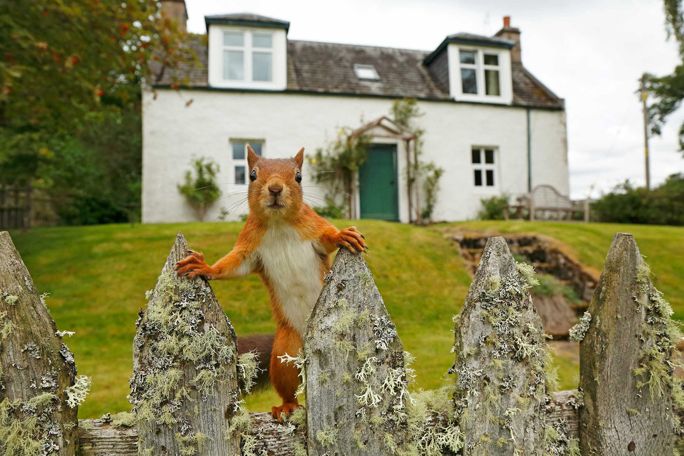 Inquisitive Red Squirrel. Cairngorms National Park, Highlands, Scotland, © Neil McIntyre, British Wildlife Photography Awards