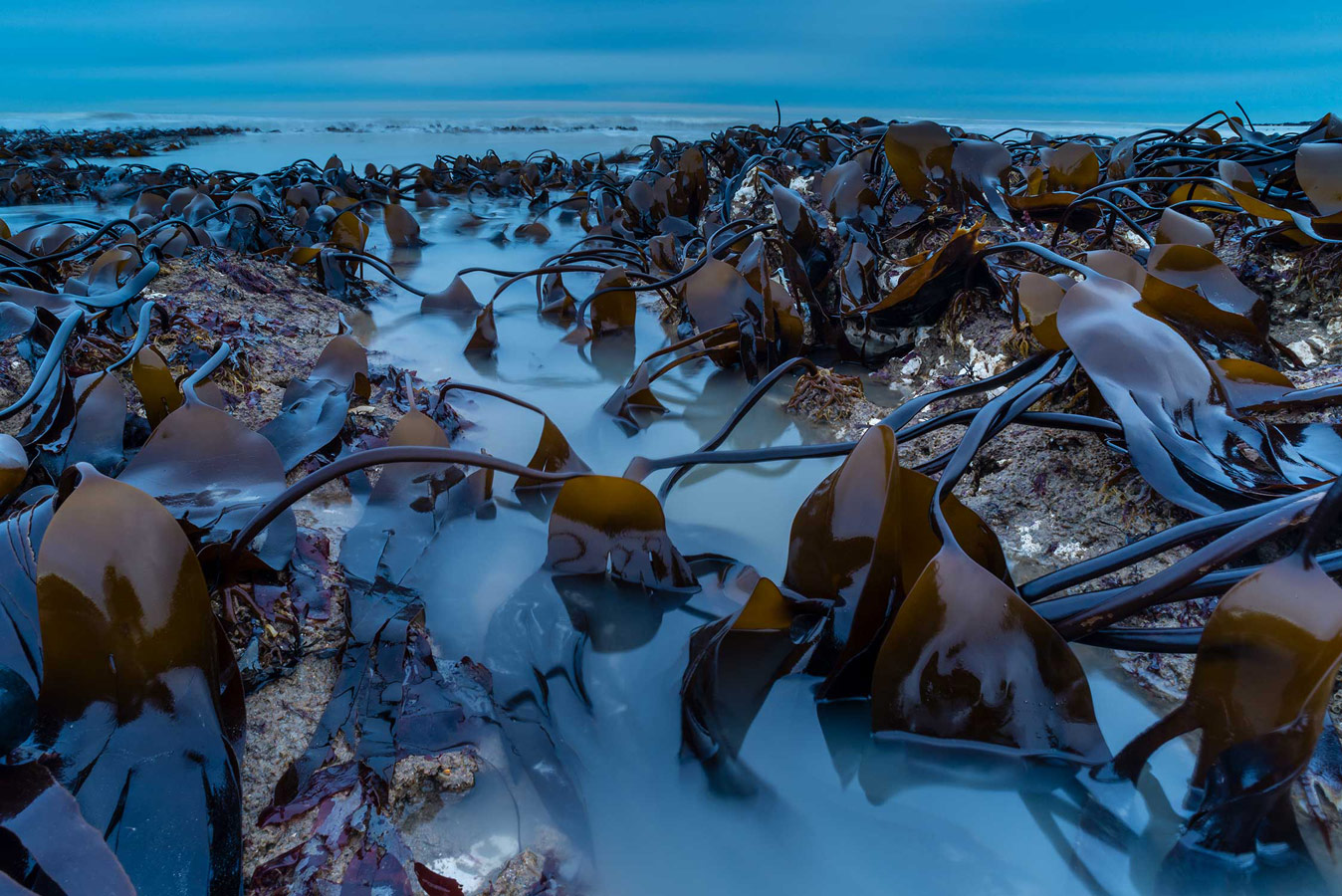 Kelp Bed at Dawn. Kingsgate Bay, Kent, © Robert Canis, British Wildlife Photography Awards