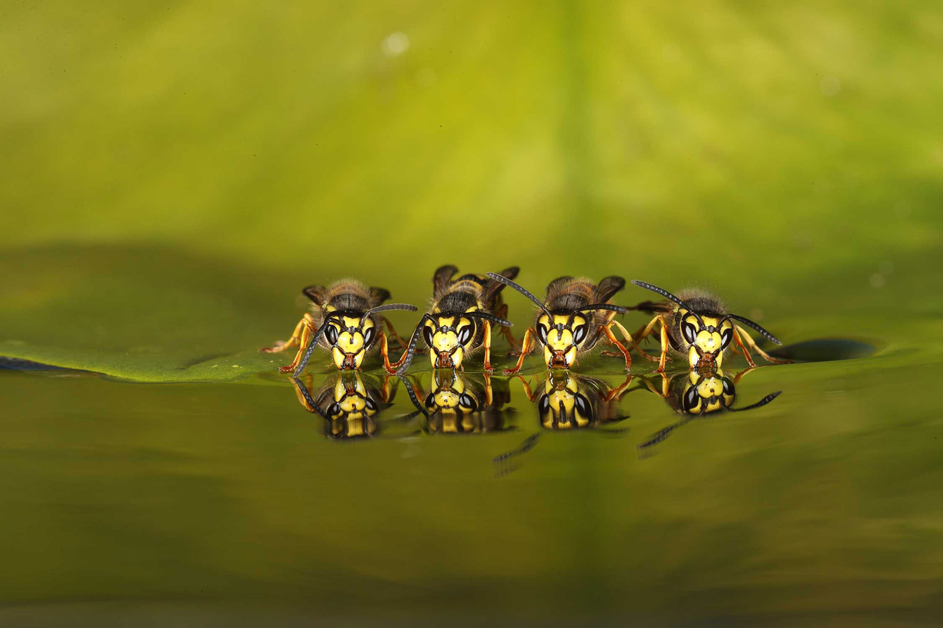 Four Common wasp drinking. My garden, © Roy Rimmer, British Wildlife Photography Awards