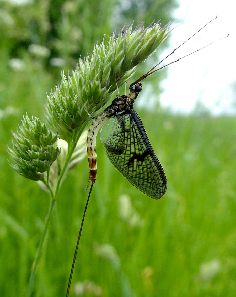 Mayfly resting on grass. Oxfordshire, © Alicia Lakin, British Wildlife Photography Awards