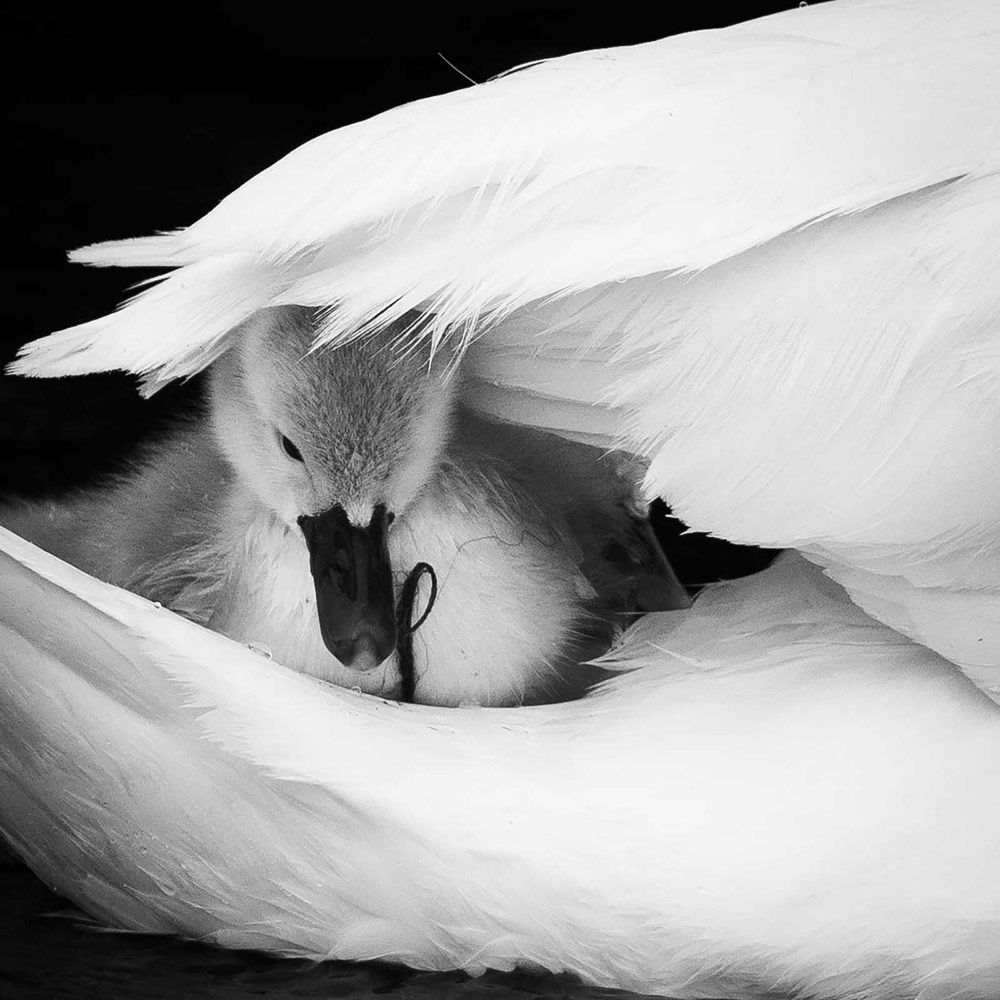 Mothers Love. River Stour, Dorset, © Josh Clark, British Wildlife Photography Awards