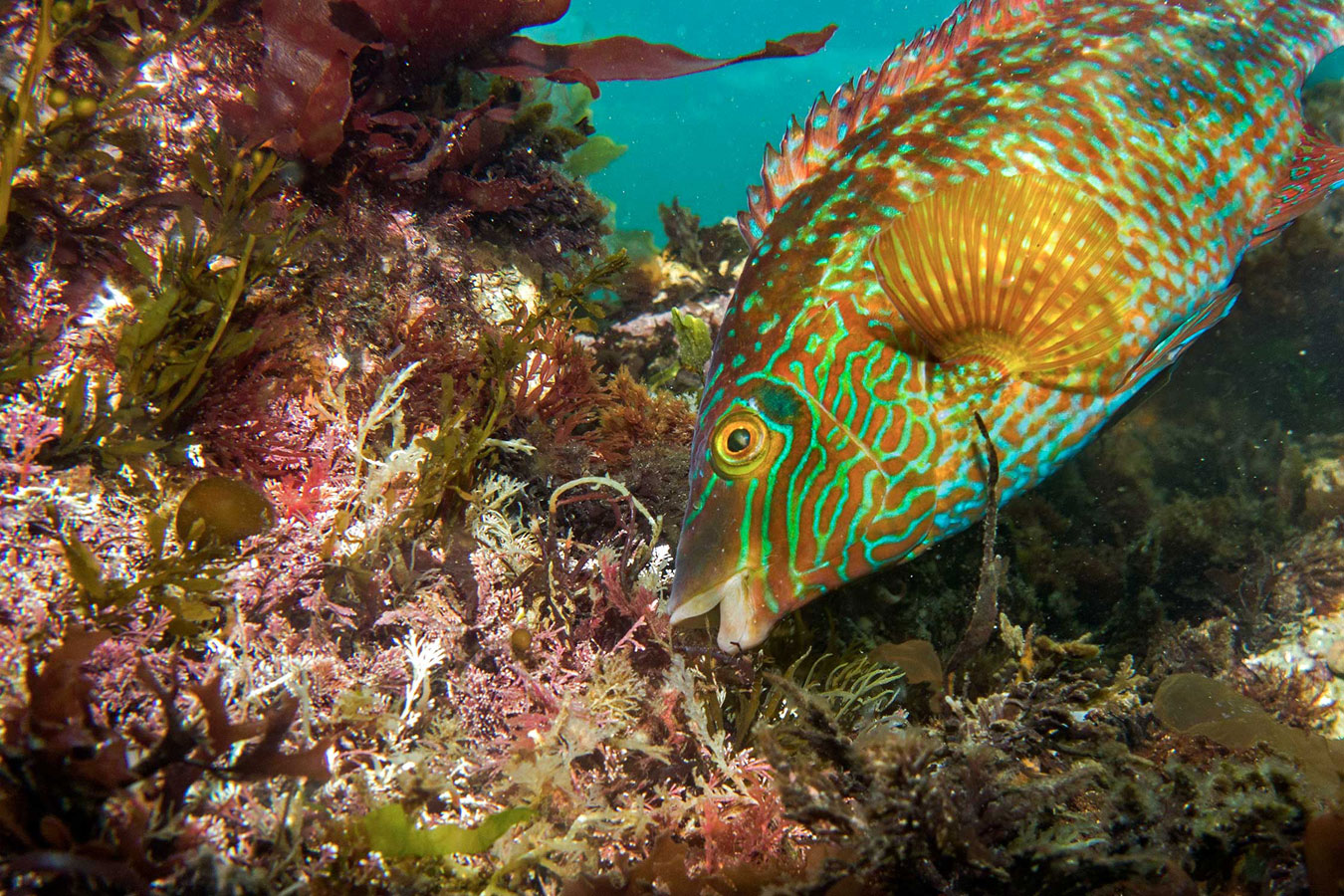 Corkwing Wrasse. Pendennis Point, Falmouth, Cornwall, © Ellie Stones, British Wildlife Photography Awards