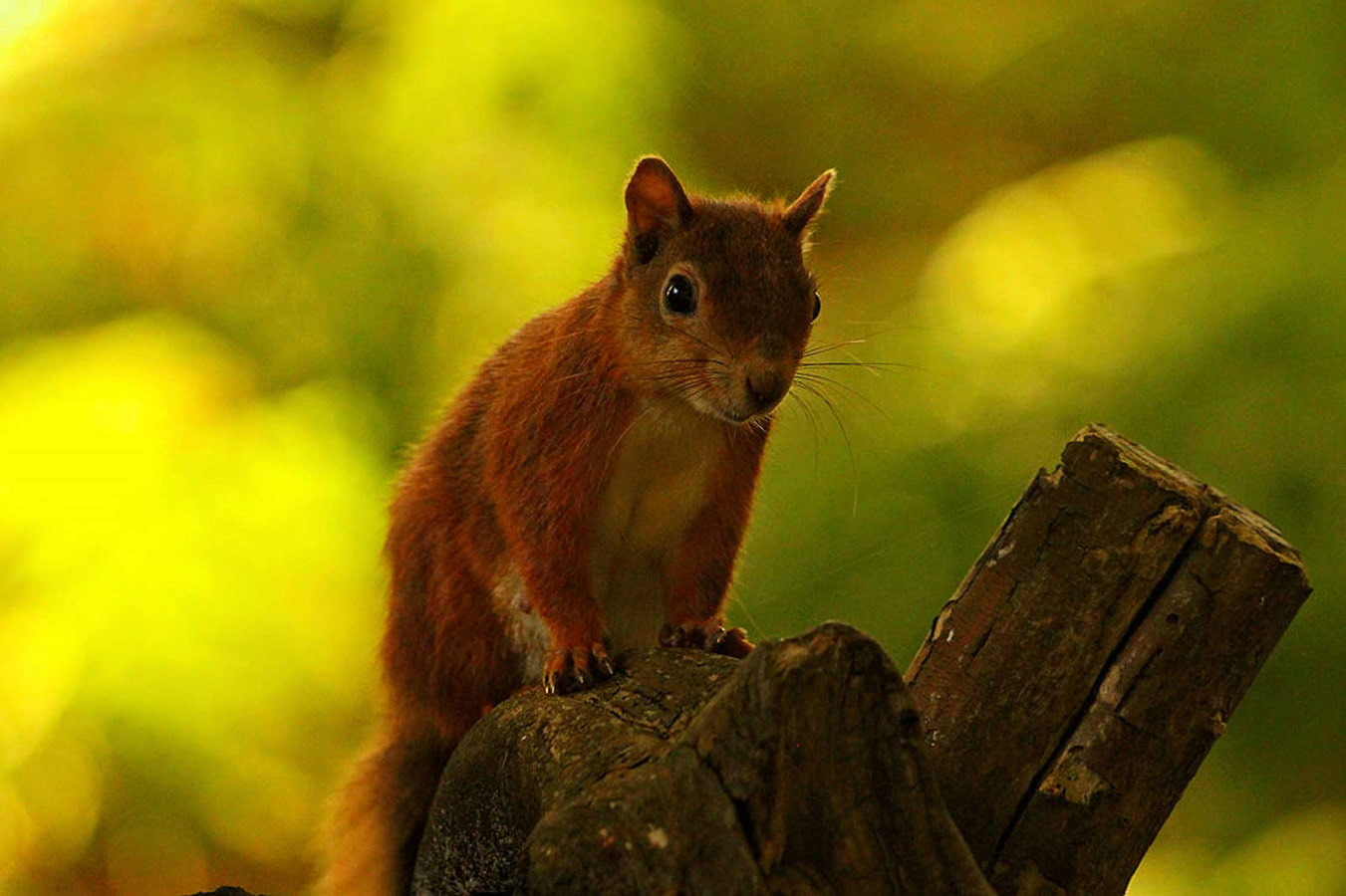 Brownsea Red. Brownsea Island, Dorset, © Joel Osborn, British Wildlife Photography Awards