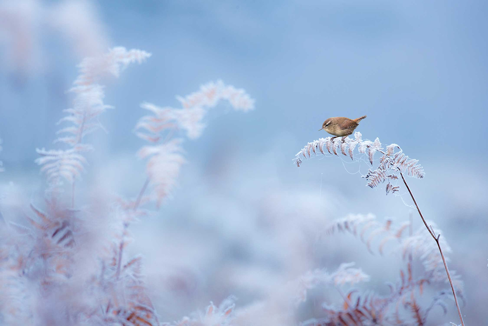 © Ben Hall, Wren on frost-encrusted fern, Dunham Massey, Cheshire, Wiiner in category Habitat, British Wildlife Photography Awards 2017