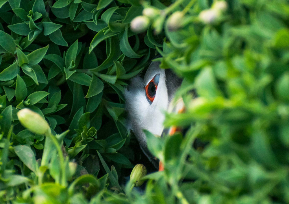 © Oliver Teasdale (age 10), Puffin in a Hole, Skokholm Island, Pembrokeshire, Wiiner in category WildPix – Under 12 Years, British Wildlife Photography Awards 2017