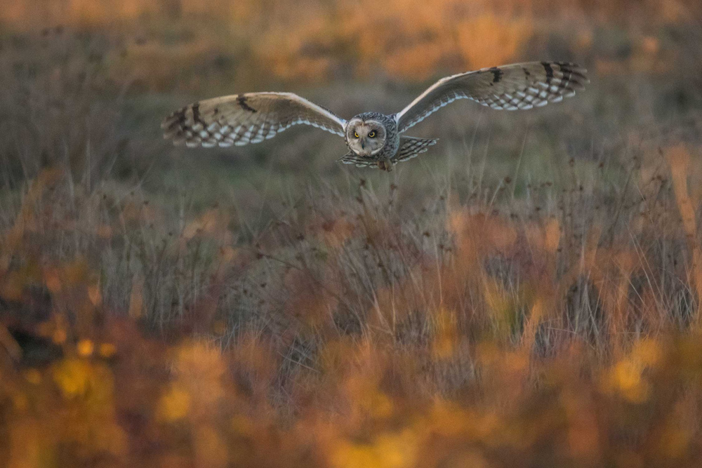 © Matthew Roseveare (age 18), The Golden Hour Hunt, Farlington, Hampshire, Wiiner in category WildPix – 12–18 Years, British Wildlife Photography Awards 2017